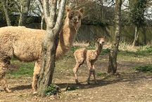 Alpacas / Some pictures of our beautiful alpacas