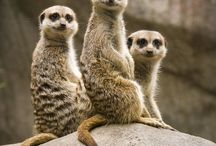 Meerkats / Stokstaartjes