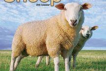 2015 Sheep Calendar