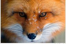 Fox Trot / Fox Tattoo Ideas / by Anna Dokakis-Stepp