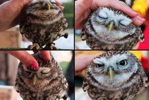 OwlCute