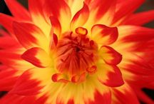 Dahlia / This is the pinterest board dedicated to one of my favorite flowers to grow.  The dahlia is an easy flower to grow in most any home garden so be sure to connect with me so I can share how.