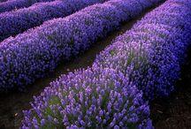 Violetas y Morados / Blue Bell of Scotland - Gardens (Toronto, Ont.) / by Mari Carmen Bondi Murray