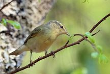 Birds-Phylloscopidae-Warblers / This family of birds contains two genera, Phylloscopus and Seicercus, respectively containing around 55 and 11 species.