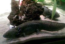 Axolotl....