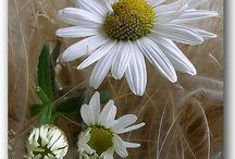FLOWERS _ DAISY
