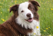Olly / My amazing dog! A fabulous Red Bordercollie :)