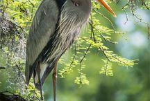 Heron/egret