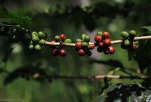 Koptan Gayo Sumatra / Alles over koffie uit Sumatra, De Eenhoorn verkoopt vanaf vandaag de nieuwe oogst Koptan Gayo