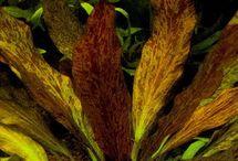Echinodorus / Echinodorus aquarium fish tank aquatic plant planta aquatica aquascape aquapaisagismo