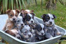 blue cattle dogs