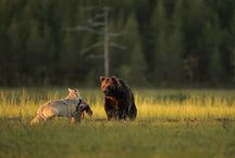 Friendship Of Wolf and Bear / Bear is a male, and the wolf – a female; the two were photographed together every evening for ten consecutive days, spending several hours together, usually eight at night until four in the morning. They not only spent time together, but even shared their hunted food.