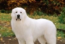 Câini mari