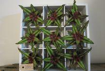 Wallflower / Nieuwe plant toepassingen in huis en makkelijk in onderhoud