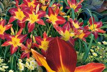 BIG Blooms! / Some gardeners prefer petite, delicate blooms, while others LOVE the large, dramatic blooms that truly make a statement in the garden! This board is for those who prefer the big colorful blooms some varieties offer! / by Proven Winners Plants