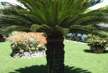 Sago Palm Tree - Cycas revoluta - species: gymnosperm, family: Cycadaceae