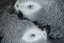 African greys / Beautiful feathery critters that have stolen my heart