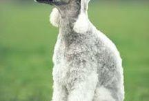 Bedlington Terrier. My Next Dog. / by Katie Newray