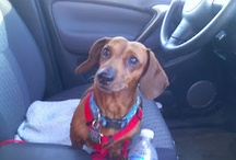 Dachsies With Moxie!
