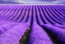 Pretty Purple, Lovely Lavender
