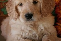 Goldendoodle Love / I'm the proud owner of an amazing white Goldendoodle and I just can't enough!
