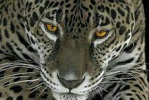 Leopard Power
