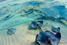 Stingrays (fish)