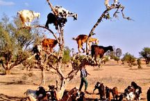 Goats in trees.