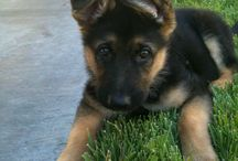 german shepherds / by Hunter Lang