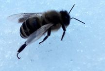Saving a Bee / Saving a Bee from the snow