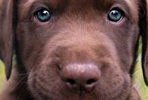 Chocolate Labs / One day Jasper...one day.
