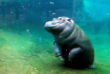 Hippopotamosity