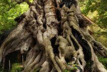 famatuzsálemek / old trees