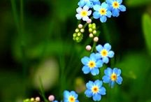 My Forget me not