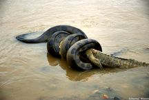 Anaconda / Look at the precise instant in which an #Anaconda from 4.6 to 5 meters of length strangles an #alligator of 1.80 meters approximately and swallowed. The event lasted 50 minutes and took place in the #Manu River. Discover the best of Peru's nature and archaeology with #Inkanatura Travel. --> http://bit.ly/1k8tysL