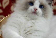 Ragdoll Cat ♥️