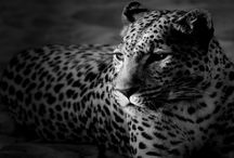Leopar / Leopar Wallpapers