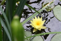 Yellow Water Lillies