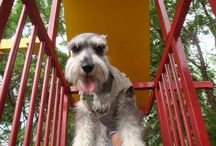 Teodoro My Baby Dog / Teodoro is my Little Baby Dog. I Love him  Schnauzer Dog with 5 years old.  Lovely and crazy Dog   / by Gaby Vanessa Saldaña