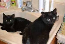 """Break the """"Curse"""":  Adopt a Black Cat (In honor of Miracle) / Black cats are often overlooked at shelters and are the last ones adopted, all because of a silly superstition.  These sweet kitties deserve a chance too. / by Theresa Nichols"""