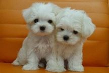 Maltese dogs / How do you resist these faces?