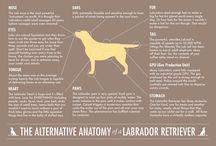 Dog's and Labrador