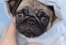 Pug Puppies by TeaCups