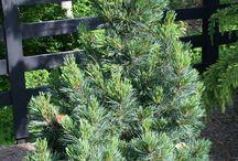 Pinus cembra-Havasi cirbolyafenyő
