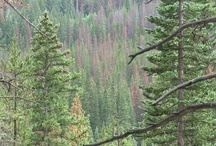 Forests and Pine Beetles / by LearnMoreAboutClim8