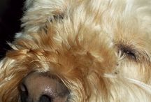 My Furbabies / My 2 Cavapoos Girls My Furbaby who Passed away on Oct.11 2014 / by Debra Thommen Reynolds