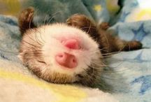 Ferrets and the like