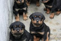 Rottie! / Ultimate place for a daily dose of cute overload.