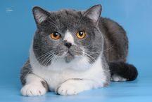 Британский кот биколор