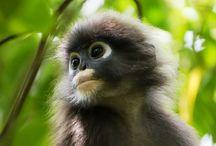 Malaysian Monkeys / Photographs of monkeys in Malaysia.